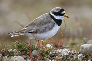 A photo of a Ringed Plover