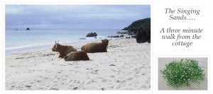 A photo of three long horned Highland Cattle on the beach and a smaller photo of some Sea Rocket